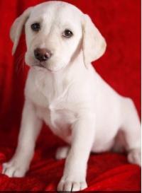 Śliczne szczeniaki labrador retriever do adopcji