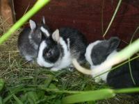 króliki miniaturki