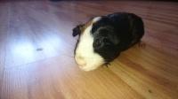 Świnka szuka domu