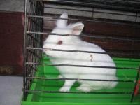 króliki miniaturki po 20 zł