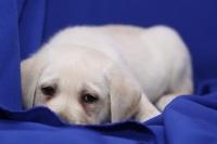 Labrador retriver szczenięta dla miłej rodziny