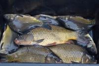 Sprzedaż ryb karpia suma jesiotra szczupaka tołpygi