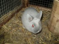 królik karzełek
