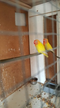 Papugi nierozłączki oraz inne