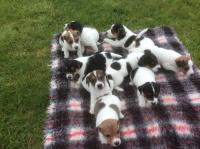 Jack Russell Terrier - piękne szczeniaki gładkowłose