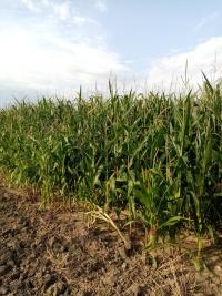 Sprzedam kukurydzę na kiszonkę