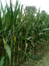 Sprzedam kukurydzę