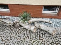 Orzech włoski - drzewo do kominka