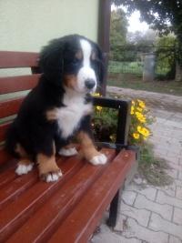 Berneński Pies Pasterski -szczeniak