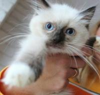 Ragdoll, słodkie kociaki szukają domu
