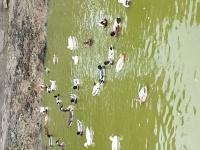 Kaczki krzyżówki ( KACZORKI )