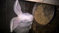 sprzedam króliki i gołębie