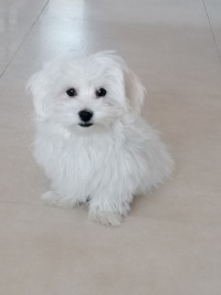 Piesek Maltańczyk