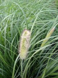 Trawa ozdobna Kostrzewa i rozplenica miskant