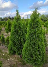 Szkółka krzewów ozdobnych Gorgolewscy