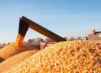Kukurydza sucha tegoroczna