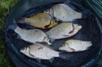 Narybek Karaś Żywiec Ryby