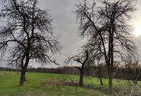 drzewa owocowe - 5 szt