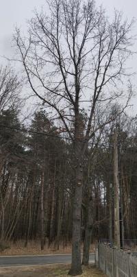 Drzewo dębowe, 3 szt + grab Gratis TANIO