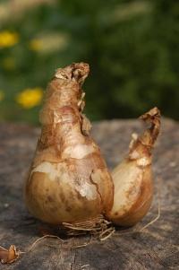 Cebulki tulipana oraz narcyzów (żonkile)