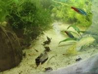 Helenki - na plagę ślimaków w akwarium 3 szt