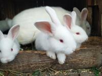 Sprzedam króliki biało nowozelandzkie.