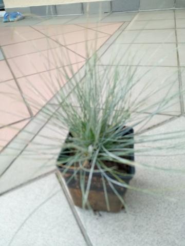 Trawa niebieska - kostrzewa sina - sadzonki
