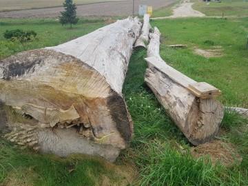 Drzewo topola