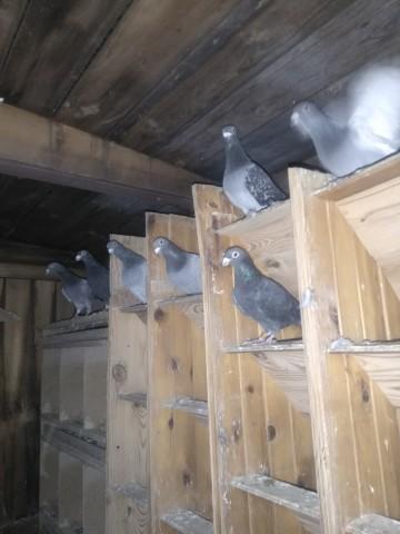 Gołębie czarne DV