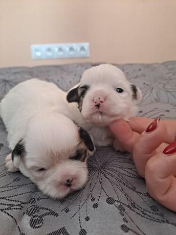 Sprzedaż hybryd psów