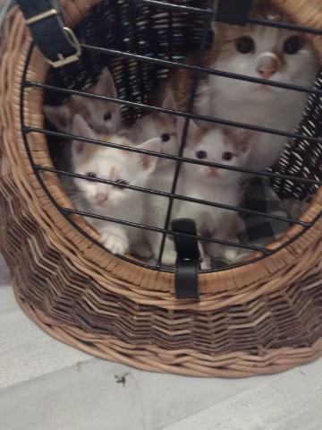 Oddam za 8 tygodni 2 kotki i 4 kocurki w dobre ręce