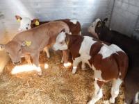 Byczki mięsne cielęta cielaki mięsne byki bydło cielak cielę